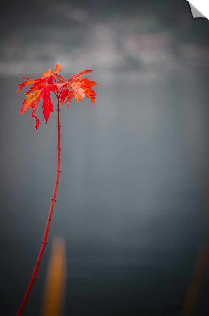 bright red leafs on a red stem in front of river